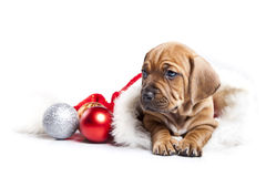 Cute doggy and Christmas decoration Stock Photo