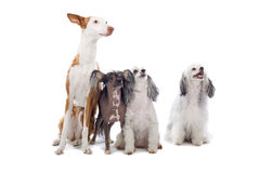 Cute Dogs. Ibizan hound and the Chinese Temple dog, isolated on a white background stock photography