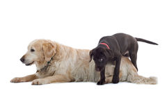 Cute Dogs Stock Image
