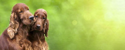 Cute dogs banner Stock Photography