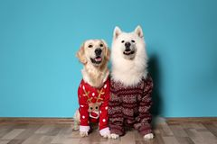 Cute dogs in Christmas sweaters on floor. Near color wall royalty free stock photo