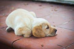 Cute dogs. Labrador puppies. Animal baby stock photo