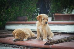 Cute dogs. Labrador puppies. Animal baby royalty free stock images