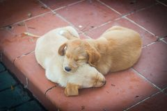 Cute dogs. Labrador puppies. Animal baby royalty free stock photography