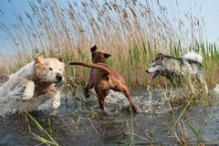 Cute dogs having fun. In the water Stock Photography