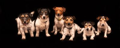 6 cute dogs isolated in front of black background. Six funny cute little dogs sitting and standing by side in a row in front of black background - a pack of stock photo