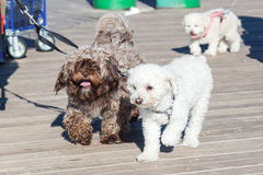 Cute dogs at the leash. Two cute dogs at the leash royalty free stock image