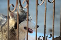 Cute dogs are lying in the house area. Locked in the house Behind the iron fence.  Stock Photography
