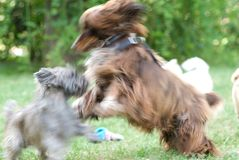 Cute dogs playing in park. Two cute dogs play fighting on green, grassy park in summer royalty free stock photography