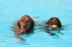 Cute dogs at a pool Royalty Free Stock Photos