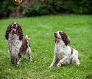 Two English Springer Spaniels Dogs Sitting on the grass. Looking to Tennis Ball. Cute Dogs Portrait with Emotion Stock Photography
