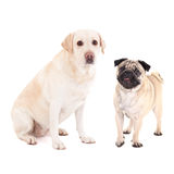 Cute dogs - pug dog and golden retriever isolated on white. Background stock image