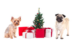 Cute dogs - pug dog and yorkshire terrier with christmas present Royalty Free Stock Images