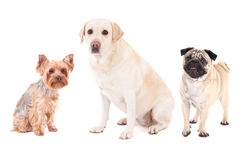 Cute dogs - pug dog, yorkshire terrier and golden retriever isolated on white. Background stock image