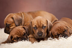 Cute dogs resting on white blanket. Four cute dogs resting on white blanket Stock Image
