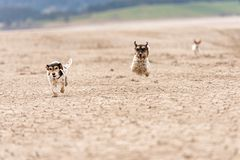 Cute dogs run over sandy ground and have fun. Two Jack Russell Terriers. Cute small dogs are running over sandy ground and have fun. Two Jack Russell Terriers stock image
