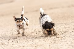 Cute dogs run over sandy ground and have fun. Two Jack Russell Terriers. Cute small dogs are running over sandy ground and have fun. Two Jack Russell Terriers stock photos