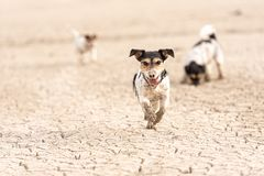 Cute dogs run over sandy ground and have fun. Two Jack Russell Terriers. Cute small dogs are running over sandy ground and have fun. Two Jack Russell Terriers royalty free stock images