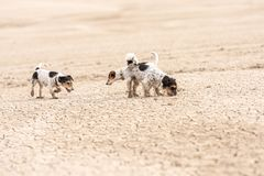 Cute dogs run over sandy ground and have fun. Two Jack Russell Terriers. Cute small dogs are running over sandy ground and have fun. Two Jack Russell Terriers royalty free stock photos