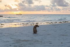 Cute dogs running on the coast. Animals of Tanzania. Pets in Zanzibar. royalty free stock image