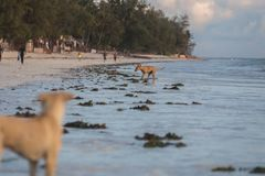 Cute dogs running on the coast. Animals of Tanzania. Pets in Zanzibar. 2018.02.21, Kiwengwa, Tanzania. Cute dogs running on the coast. Animals of Tanzania. Pets stock photo