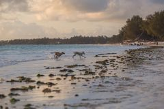 Cute dogs running on the coast. Animals of Tanzania. Pets in Zanzibar. 2018.02.21, Kiwengwa, Tanzania. Cute dogs running on the coast. Animals of Tanzania. Pets royalty free stock images