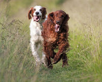 Cute dogs running Stock Images