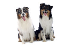Cute dogs sat together. Close up of two cute Australian Shepherd dogs sat together with their tongues out, isolated on white background royalty free stock images