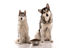 Cute dogs and their favorite food on a white background. Cute dogs Siberian Husky and Alaskan Malamute and their favorite food on a white background, very good royalty free stock image