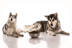 Cute dogs and their favorite food on a white background. Cute dogs Siberian Husky and Alaskan Malamute and their favorite food on a white background, very good stock photo