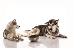 Cute dogs and their favorite food on a white background. Cute dogs Siberian Husky and Alaskan Malamute and their favorite food on a white background, very good royalty free stock images