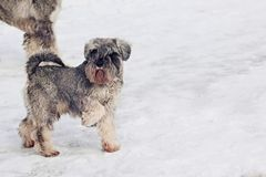 Cute dogs walking. On snow royalty free stock images