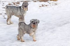 Cute dogs walking. On snow stock photos