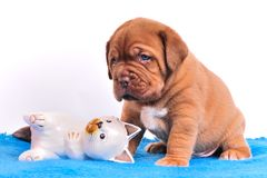 Cute Dogue De Bordeaux puppy Stock Photo