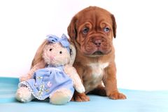 Cute Dogue De Bordeaux puppy Royalty Free Stock Images