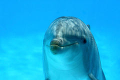 Cute Dolphin. Ocean Life - Extreme closeup dolphin watching the camera stock image