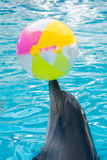 Cute dolphin playing ball in dolphinarium Royalty Free Stock Photo
