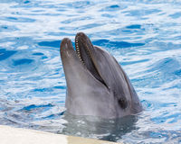 A cute dolphin playing in water park Royalty Free Stock Photos