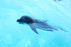 Cute dolphin swimming in the pool Stock Images