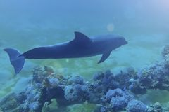 cute Dolphin swims near the corals under the water. The dolphin reef in Eilat Red Sea in Israel stock photography