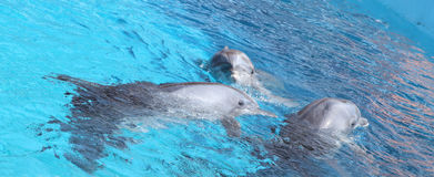 Cute dolphins dancing in light-blue water. Photo of three dolphins swimming in blue pool Stock Photo