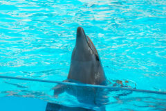 A cute dolphins during a speech at the dolphinarium, Batumi, Geo Royalty Free Stock Photos