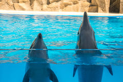 A cute dolphins during a speech at the dolphinarium, Batumi, Geo Royalty Free Stock Image