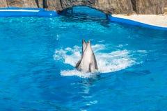 A cute dolphins during a speech at the dolphinarium, Batumi, Geo Stock Photos