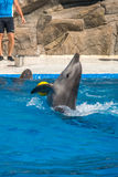A cute dolphins during a speech at the dolphinarium, Batumi, Geo Stock Image