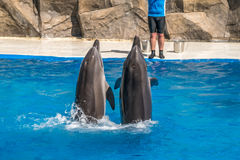 A cute dolphins during a speech at the dolphinarium, Batumi, Geo Royalty Free Stock Photography