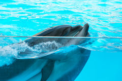 A cute dolphins during a speech at the dolphinarium, Batumi, Geo Stock Photography