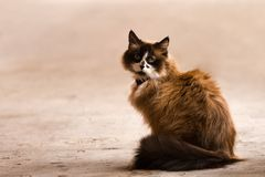 Cute Domestic Cat Royalty Free Stock Photos