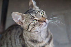 Cute domestic cat looking up Royalty Free Stock Photos