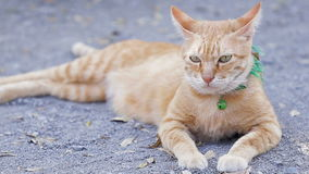 Cute domestic cat lying on grounds. Thai orange and white cat stock video
